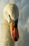 tät swan upp fotografering för bildbyråer
