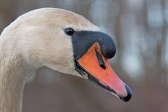 tät swan upp royaltyfri fotografi