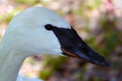 tät swan upp royaltyfria foton