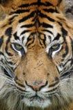 tät tiger Royaltyfri Fotografi