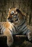 tät tiger upp Arkivfoto