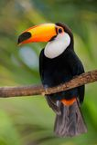tät toucan vegetation Arkivbilder