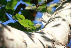 tät tree för björk upp Royaltyfri Fotografi