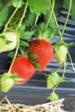 tät växtjordgubbe upp Arkivfoton