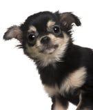 tät valp för chihuahua upp royaltyfria bilder