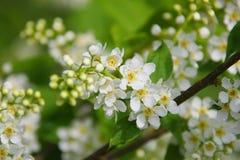 täta blommor för äpple upp Royaltyfri Bild