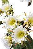 täta blommor för kaktus upp Fotografering för Bildbyråer
