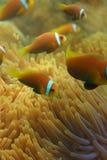 täta clownfishes maldivian upp fotografering för bildbyråer