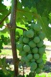 täta druvor up vingården Royaltyfri Fotografi
