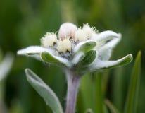 täta edelweiss blommar upp royaltyfri bild