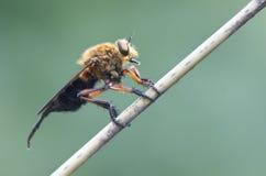 täta extremeflugakryp annan rovdjurs- rånare upp Royaltyfri Foto