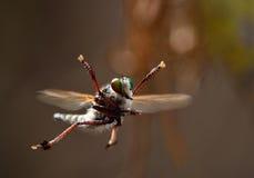 täta extremeflugakryp annan rovdjurs- rånare upp royaltyfri bild