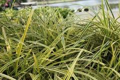 Täta gräsogräs, vasser arkivfoto