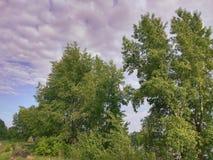 Täta gröna träd med en fluffig krona mot en lila himmelbakgrund med vit fördunklar på en solig dag för sommar Royaltyfria Bilder