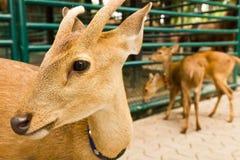täta hjortar head up1 Fotografering för Bildbyråer