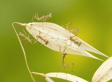 täta lilla mantises som ber upp royaltyfri bild