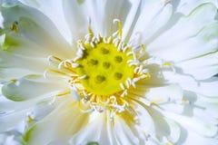 täta lotusblommar up white Royaltyfri Fotografi