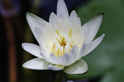 täta lotusblommar up white Arkivfoto
