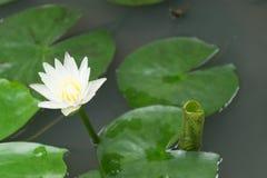 täta lotusblommar up white Arkivbilder