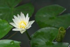 täta lotusblommar up white Fotografering för Bildbyråer