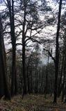 Täta mörka träd i skog royaltyfri fotografi