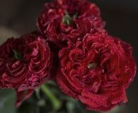 täta röda ro upp Royaltyfri Foto