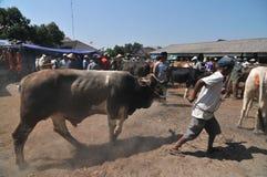 Tätigkeit am traditionellen Kuhmarkt während der Vorbereitung von Eid al-Adha in Indonesien Stockbild