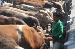 Tätigkeit am traditionellen Kuhmarkt während der Vorbereitung von Eid al-Adha in Indonesien Lizenzfreie Stockfotografie