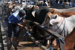 Tätigkeit am traditionellen Kuhmarkt während der Vorbereitung von Eid al-Adha in Indonesien Lizenzfreie Stockfotos