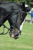 Tätigkeitspferdenportrait stockbild