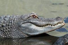 tätt övre för alligator Arkivbild