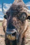tätt övre för buffel Arkivfoton