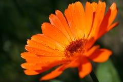 tätt övre för calendula Royaltyfri Bild