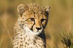 tätt övre för cheetah Royaltyfri Fotografi