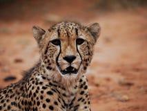 tätt övre för cheetah Arkivbilder