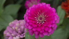 tätt övre för chrysanthemum royaltyfri fotografi
