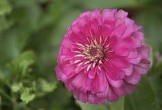 tätt övre för chrysanthemum arkivbild