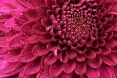 tätt övre för chrysanthemum royaltyfri bild