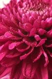 tätt övre för chrysanthemum Arkivfoton