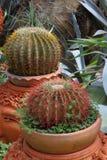 tätt övre för kaktus Arkivbild