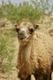 tätt övre för kamel Royaltyfri Bild