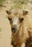 tätt övre för kamel arkivfoto