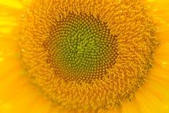 Tätt övre för solros Arkivbild