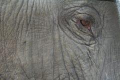 tätt elefantöga upp Arkivfoto