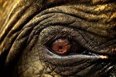 tätt elefantöga upp Fotografering för Bildbyråer