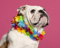 tätt engelska för bulldogg upp arkivfoton