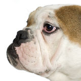 tätt engelska för bulldogg upp royaltyfri fotografi