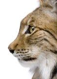 tätt eurasianhuvudlodjur s upp Fotografering för Bildbyråer