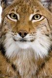 tätt eurasianhuvudlodjur s upp Royaltyfri Foto