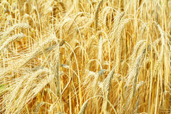 tätt fält för korn upp Arkivbild